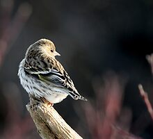 Pine Siskin  by Renee Dawson