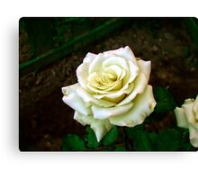 Little white rose 6 Canvas Print