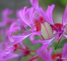Ribbon Clarkia by Ken Gilliland