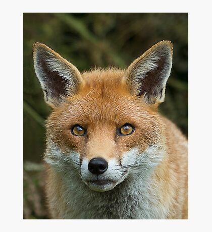 Red Fox portrait Photographic Print