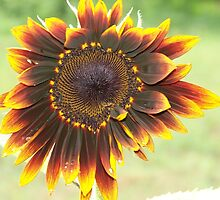 amber sunflower by Tracey Hampton