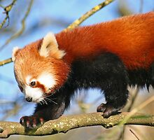 Red Panda by RedHillDigital