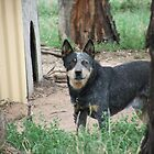 Broson - The blue heeler by Johnso83
