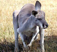 Kangaroo by Sandra McNabb
