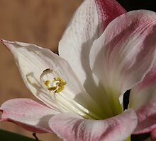 pale pink Lilium by Tammy Roberts