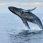 Breaching Hump Back Whale by Sue Leonard