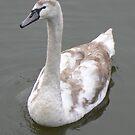 A Mute Swan Cygnet by AARDVARK