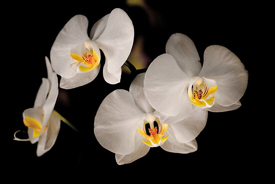 White Orchids by Claire  Farley