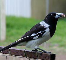 Pied Butcher Bird by Jenny Brice