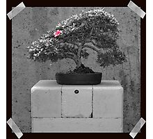 Bonsai Photographic Print