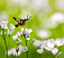 Hummingbird Clearwing Moth by Christina Rollo