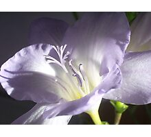 Freesia Flower Photographic Print