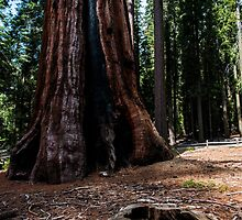 Old and New Trees in Yosemite by James Gray