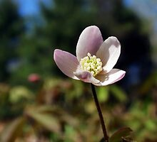 Wood Anemone Flower by Christina Rollo