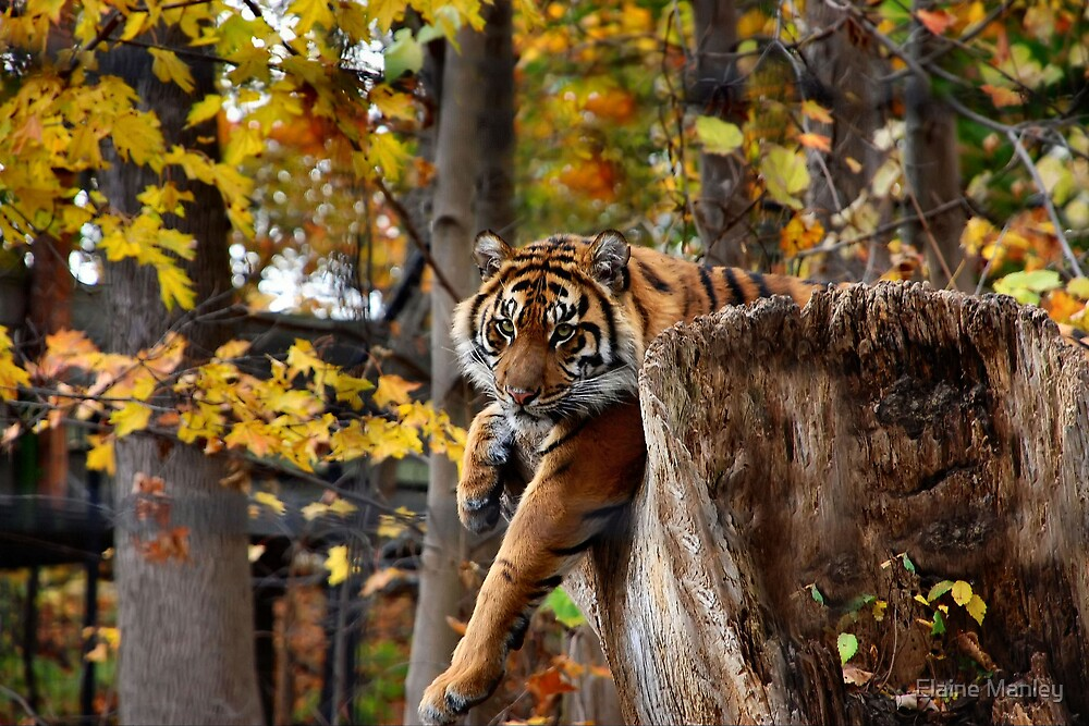 Autumn Tiger  by Elaine  Manley