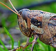 Grasshopper Macro by Debbie Sickler