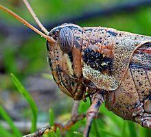 Grasshopper Macro by Debbie Sickler