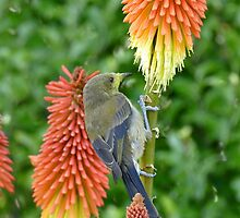These Pokers Are Sweet - Female Bellbird - NZ by AndreaEL