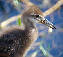 Adolescent Limpkin by jrhall19
