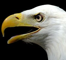 Eagle by bvphotography