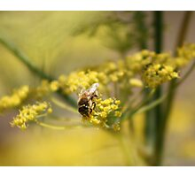 Beeing fennel... Photographic Print