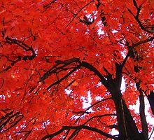 Red Maple by elasita