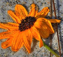 Black Eyed Susan in the Sand by sailorsedge