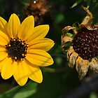 Living & Dying in Black Eyed Susan's Time by sailorsedge