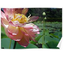 Blowsy Lotus Flower 1 Poster