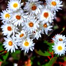 Native paper daisies by Jennifer Craker