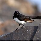 willy wag-tail #1 by GrowingWild