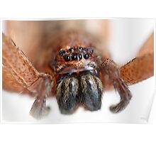 Brown Huntsman Spider, Isopeda vasta? Poster