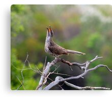 little wattle bird - singing  Metal Print
