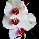 Orchid by Janine  Hewlett