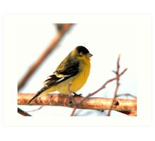 Lesser Goldfinch Art Print