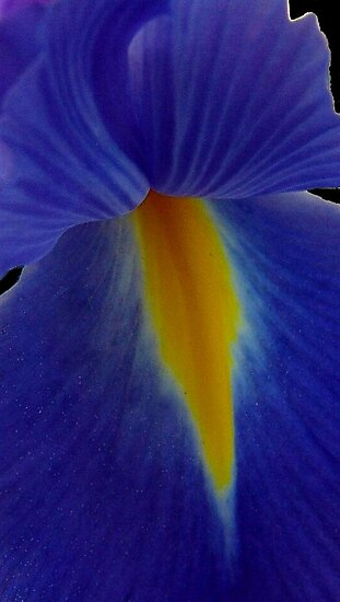 Blue iris by May Lattanzio