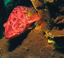 Harlequin on Coral by Jamie Kiddle