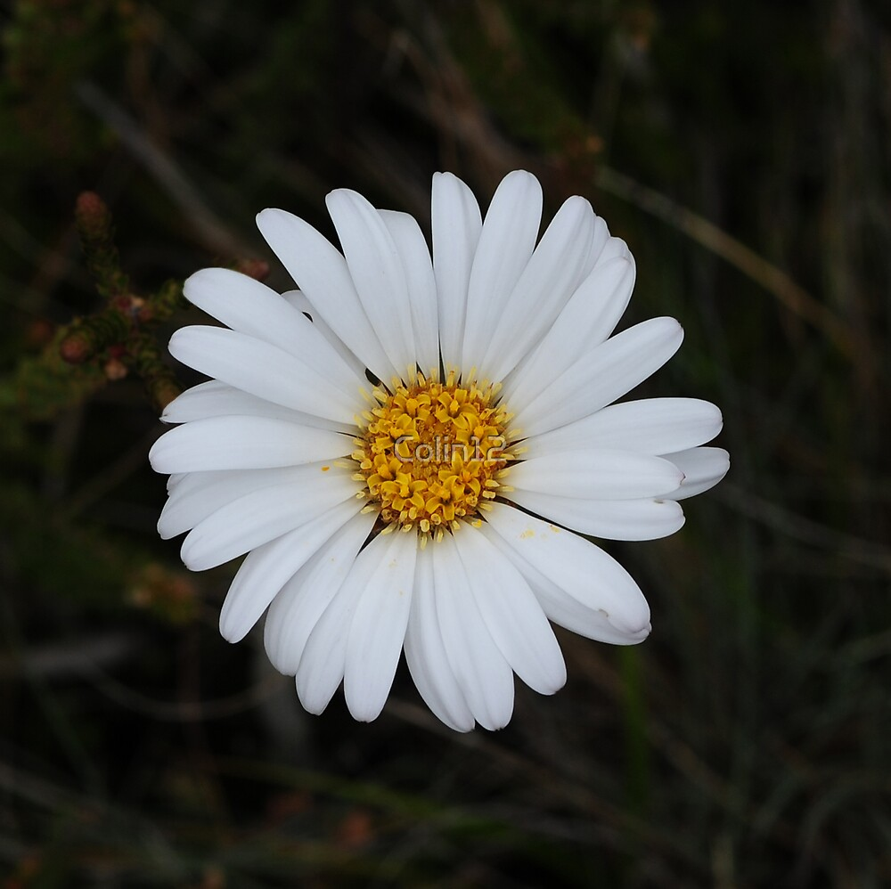 Snow Daisy by Colin12