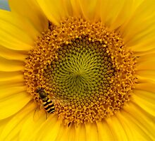 Sunny Yellow Sunflower Heart with Black and Yellow Striped Wasp by HotHibiscus