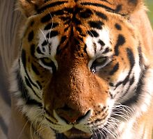 Portrait of the Striped Royal Bengal Tiger of India by HotHibiscus