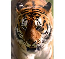 Portrait of the Striped Royal Bengal Tiger of India Photographic Print