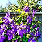 Solina Clematis on Fence by Susan Savad
