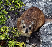 Direct Dassie gaze by Karen01