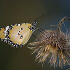 Lesser Wanderer on Thistle by Elmacca