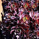 Succulents by glenda1998