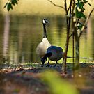 Geese Enjoying the Lake by Photography by TJ Baccari