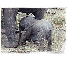 Little Jumbo under Mum's feet - Tanzania, Africa Poster