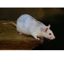white rat Photographic Print