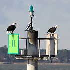Bald Eagles by Timothy Gass