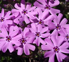 Pink Phlox Flowers by Christina Rollo